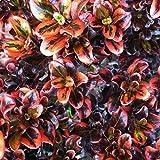 Coprosma 'Tequila Sunrise' Evergreen Colourful Garden Shrub