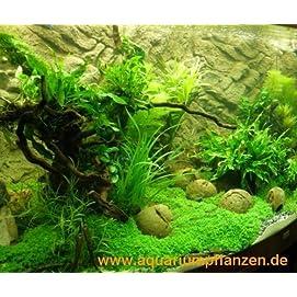 Mühlan 4 getopfte Wasserpflanzen, 6 Bund Aquarienpflanzen + 2 Mooskugeln