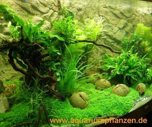 aquarienpflanzen suedamerika