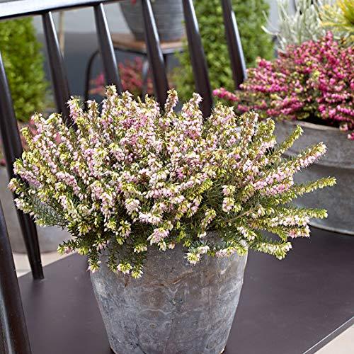 Qulista Samenhaus - Rarität Englische Heide Erika Mix Baum Bonsai, Zierpflanze Blumensamen Mischung winterhart mehrjährig für Steingarten/Balkon/Terrasse