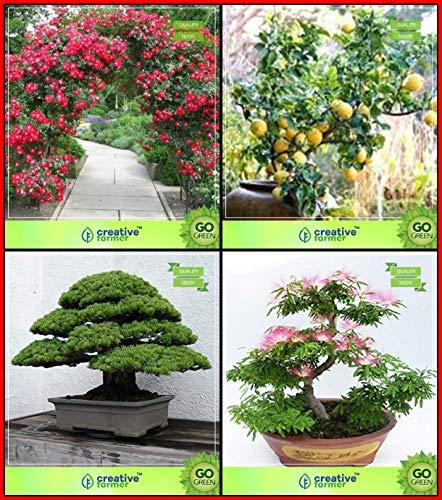 BloomGreen Co. purificadores de Aire Combo Plantas Semillas de Flores: Escalador de Rosa, cítricos, Negro Pin, Rosa Siris Bonsai Tree Terrace adecuados Jardinerãa