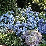 Risitar Graines - 10pcs Bleu Hortensia - Hydrangea macrophylla, Grainé fleur Plantes vivaces résistante au froid en grands bacs ou en massifs ombragés