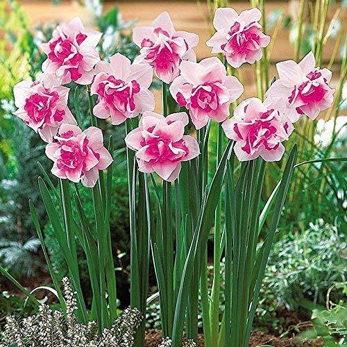 Portal Cool 400X Mixta narciso doble del narciso Bulbos Duo semillas de plantas de flores de primavera De T Hh