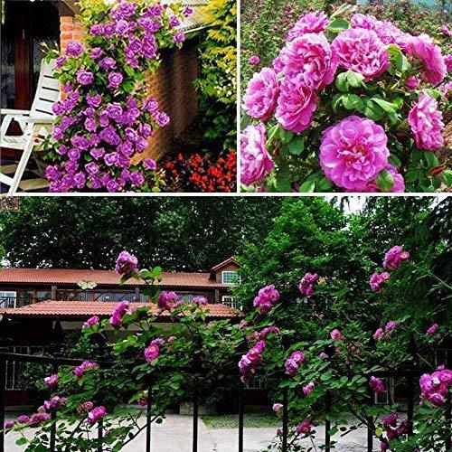 Guajave 100 Pzas/Juego Rosal Trepador Semillas Perenne Aromático Jardín Hogar Planta Multiflora Flor Semilla - Morado: Amazon.es: Hogar