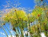 50 semillas Cyperus papiro de papel Reed juncia de la...