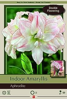 Aphrodite Double Amaryllis - Double Flower - Large Bulb