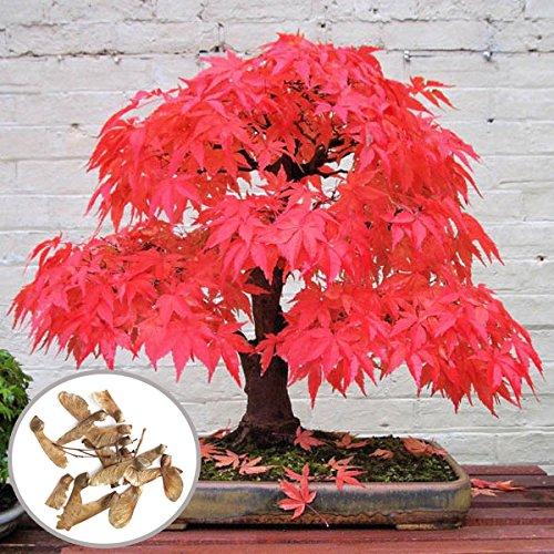 FATO. Egrow 10pcs Red Maple Samen Gartenbonsai Schöne Indoor Potting Pflanze