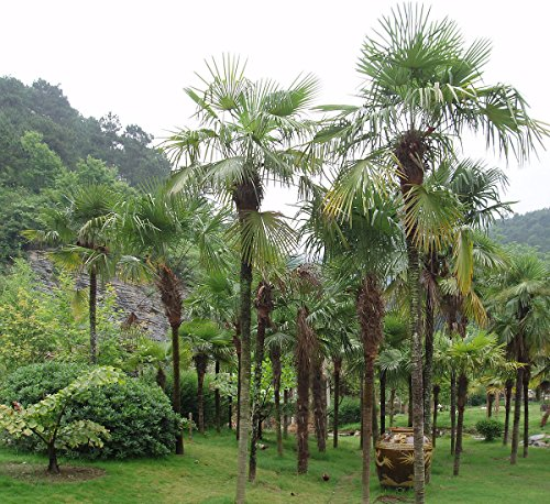 Palmier Graines de jardin d'ornement à feuilles persistantes Trachycarpus fortunei Accueil Bonsai Tropical Garden 50 graines