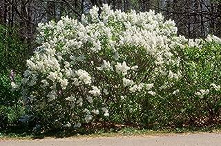 Betsy Ross French Lilac - Syringa-White & Very Fragrant