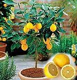20 hermosas bonsai de la fruta del árbol de limón enanos en macetas completa de la fragancia que se sienta relajarse