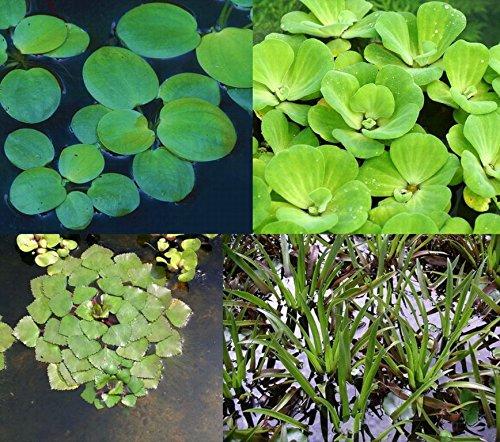 WFW wasserflora 4er Set Muschelblume, Froschbiss, Wassernuss & Krebsschere für Gartenteich
