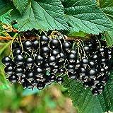 Ribes nigrum'Titania'   2er Set Schwarze Johannisbeere   Obst Pflanzen   Winterharte Sträucher   Garten und Balkon Pflanze   Höhe 30-60cm   Topf-Ø 12cm