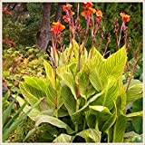 Planta decorativa mágica,Canna Lily Bulbos,Flores reverdecimiento ambientales-1 Bulbo