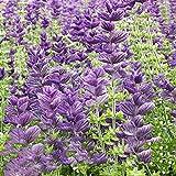 Keshang Semillas de Flores Silvestres,Semillas de brocheta de Flor Azul Paisaje de Cuatro Estaciones Flor Sea-Blue_250g,Plantas de jardín