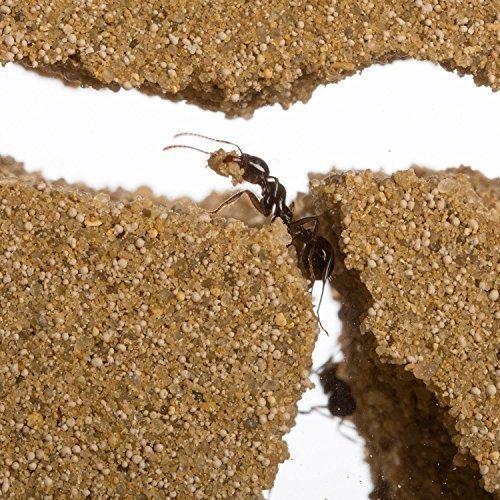 Ameisenfarm Starterkit (Ameisen mit Königin FREE) - 6