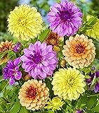 DAHLIE - Dahlia Überraschungspaket, Schnittblumen Mischung, Pack: 12 Knollen/Zwiebeln (Größe XL), BULBi Blumenzwiebeln Spezialist, Top Qualität, Kreieren Sie einen Meer von Dahlienblumen.…