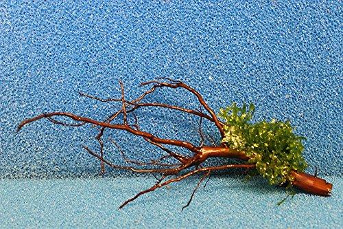 ZAC Wagner WM1 20-25 cm bepflanzte, gewässerte Moorkienwurzel Moorkienholz Garnelenbäumchen Wurzel