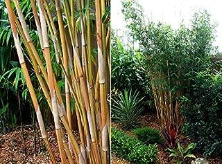 Best alphonse karr bamboo Reviews