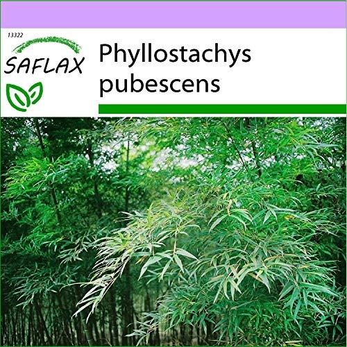 SAFLAX - Moso/Bambù gigante - 20 semi - Phyllostachys pubescens