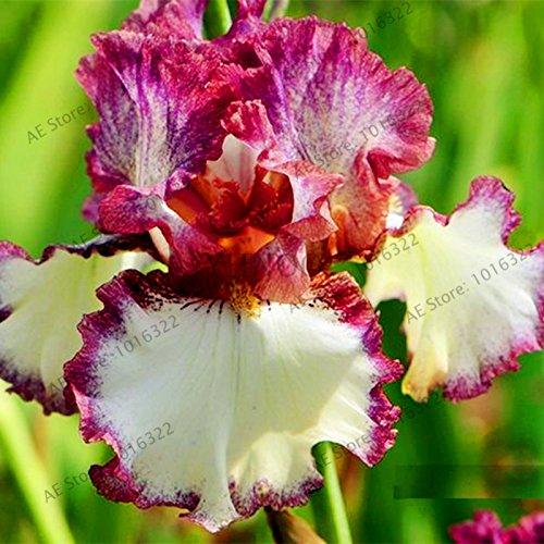50pcs / sac graines Iris, fleur populaire de jardin de plantes vivaces, graines de fleurs rares coupe magnifique fleur pour orchidée plantation de jardin à domicile 6