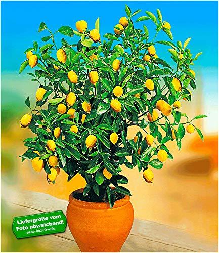 BALDUR Garten Zitronen-Bäumchen, 1 Pflanze Citrus Limon Zitruspflanze
