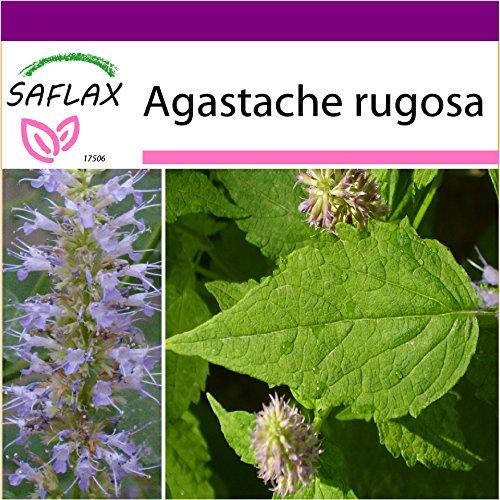 SAFLAX - Big Garden - Kräuter - Koreanische Minze - 1200 Samen - Mit Gewächshaus, Töpfen, Anzuchtsubstrat und Dünger - Agastache rugosa