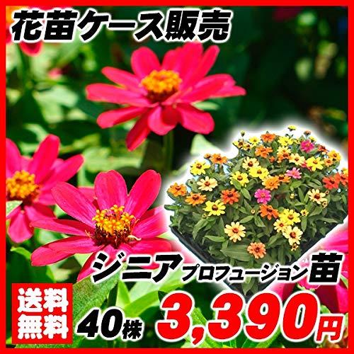 国華園 花苗 ジニアプロフュージョン ケース販売 1ケース40株入り /21年春商品
