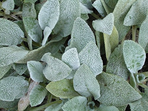 (1 Gallon) Stachys Byzantine 'Helene von Stein' Big Ears Lamb's Ear, Woolly Silver Grey Foliage, Larger Leaves Than Typical Stachys, Flowers are Rare, but are Purple When They do Appear.