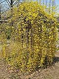 5 Semi di Forsythia suspensa Piangendo forsizia Fiori gialli