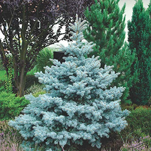 Abete Blu Argentato'Picea Pungens Kosteriana Hoopsii' in mastello h. 140/160 cm