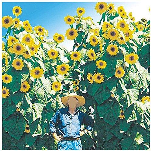 Lot de 10 graines de Soleil - Tournesol à fleurs géantes F1 King - annuel