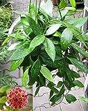 1 PIANTA di Hoya GRACILIS Fiore di Cera Vaso 14CM Perenni
