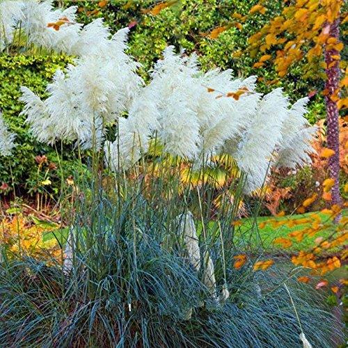 Beautytalk-Garten 100 Stück Bunte Pampasgras Samen Amerikanisches Pampasgras winterhart mehrjährig Garten Pflanzen Einfach Wachsen Zierpflanzen