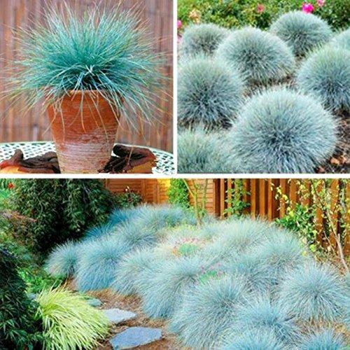 100 graines / pack bleu fétuque Seeds - (Festuca glauca) vivace herbe ornementale si facile à cultiver