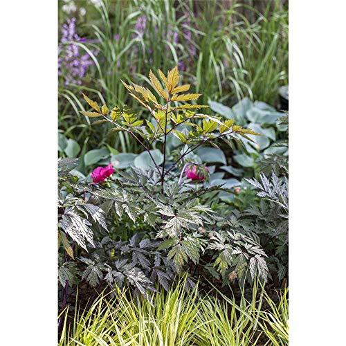 Cimicifuga ramosa 'Pink Spike' - Garten-September-Silberkerze 'Pink Spike' - 11cm Topf