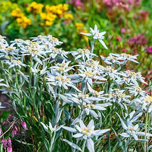 100 Samen Alpen-Edelweiß (Leontopodium alpinum) Edelweiss
