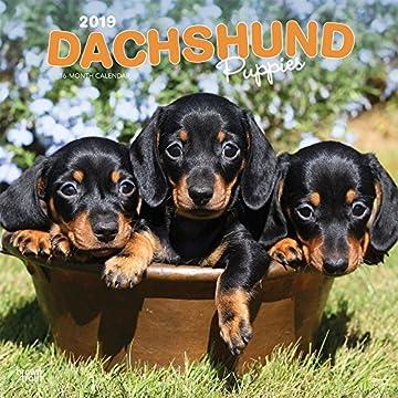 Dachshund Puppies 2019 Calendar