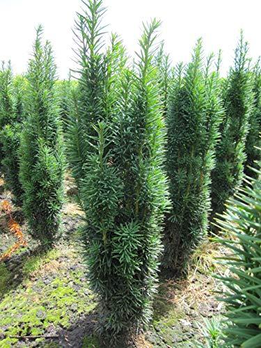 Taxus baccata fastigiata Robusta robuste Säuleneibe Preis nach Größe 60-80 cm, Preis nach Stückzahl Einzelpreis