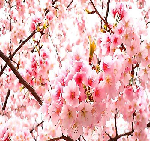 30 semi Ciliegio del Giappone//Sakura SAFLAX Prunus serulata