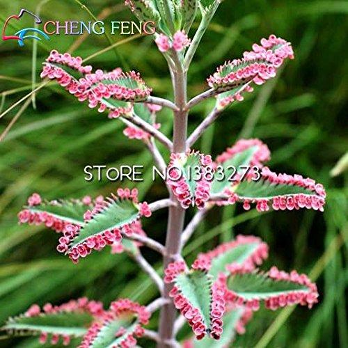 100 Samen Kalanchoe Topfpflanzen-Setzlinge plena vergossen Keimlinge Samen Langlebigkeit Lunar New Year Blumensamen-Garten-Dekoration