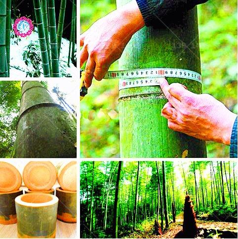 40pcs / sac chinois Moso géant graines bambou. Phyllostachys heterocycla Pubescens-géant bambou Moso Graines pour le bricolage jardin plante