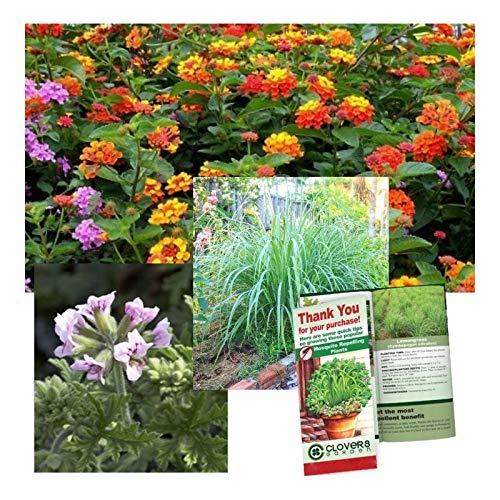 "Mosquito Trio - 9 Mosquito Repellent Plants – Includes Three Varieties: 3 Citronella Geranium Plants, 3 Lemongrass Plants, 3 Lantana Plants, Each 4""– 8"" Tall in Individual 4"" Pots"
