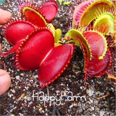 100 Pcs Flytrap Graine Dionaea géant Graines clip Dionée Plante carnivore plante Graines de jeunes arbres Dionaea graines vertes