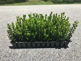 Wintergem Korean Boxwood - 20 Live Plants - Fast...