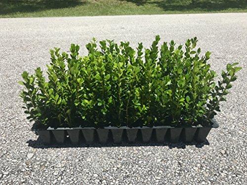 Winter Gem Boxwood - 15 Live Plants - Low Maintenance Formal Evergreen Hedge