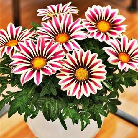 Bonsai fleur rose graines 50pcs Vraiment Rare \