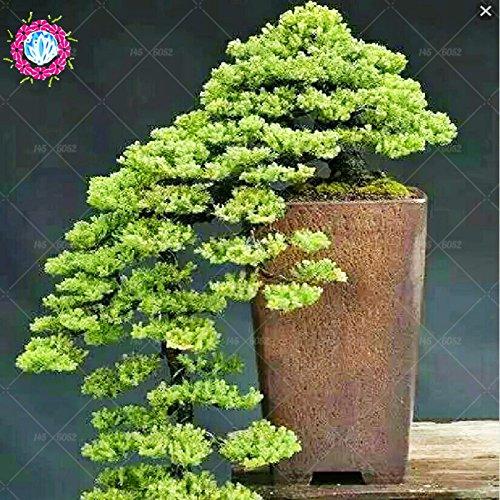 Vente chaude 20pcs unique THUNBERGII Graines Bonsai pin noir arbre Graines plantes en pot Balcon Seating japonais Pine Tree Seeds