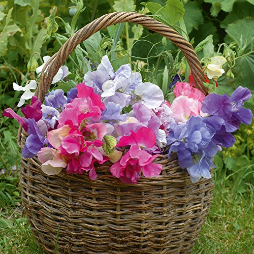 Sweet Pea famille royale Mix 50 graines * coloré * * Easy Grow Fragrant *