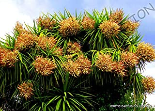 Rare CORDYLINE Australis Cabbage Tree @j@ Exotic Palm Trees Plant Seed 10 Seeds