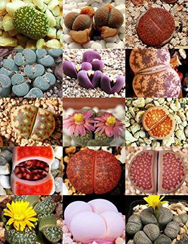 15 Graines rares Lithops Mix Succulent Cactus exotiques Pierres vivantes Desert Rock Seed
